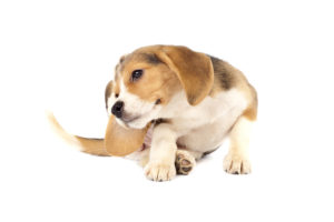 picture of a small beagle puppy scratching over white background