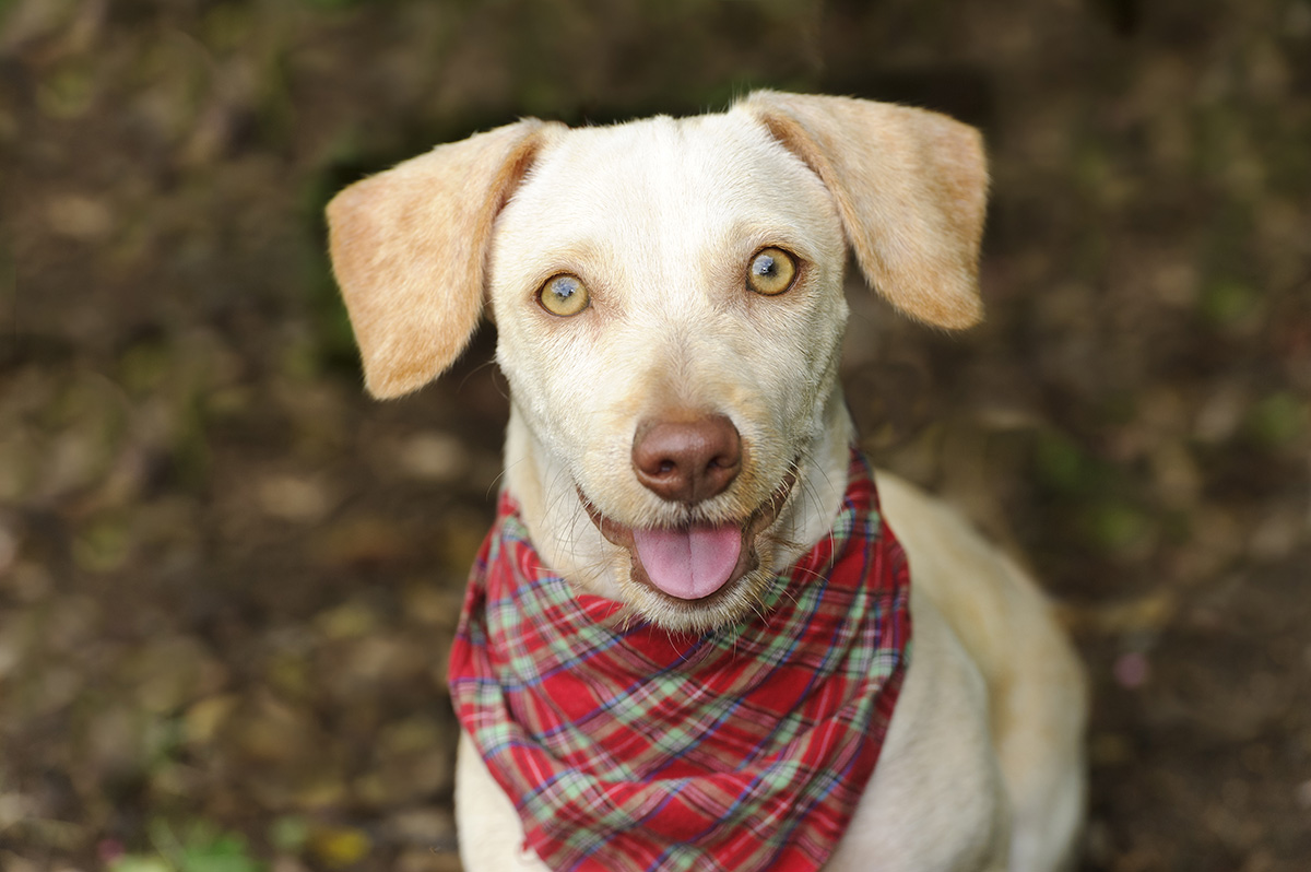 Happy dog is a white happy looking dog with cute floppy ears and his adorable pink tongue and glowing brown eyes giving a great big smile to you.