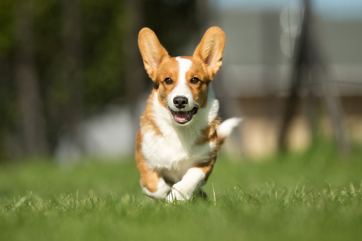 Purebred adult Welsh Corgi dog outdoors in the nature on a sunny day during late spring and early summer.